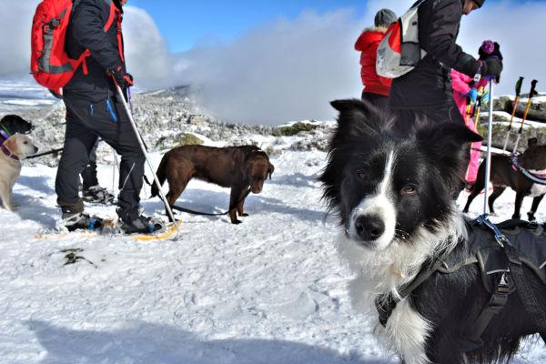 Raquetes de neu amb gos